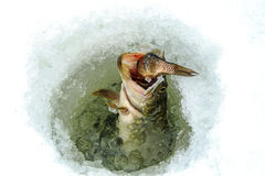 Winter fishing on ice. Pike looks out from under the ice with fish in its mouth Stock Images