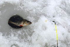 Winter fishing after perch Stock Image