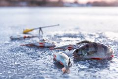 Winter fishing, perch on ice Royalty Free Stock Images