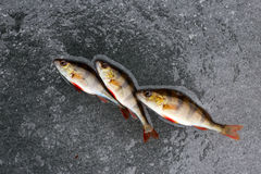 Winter fishing. perch fish on ice. Royalty Free Stock Images