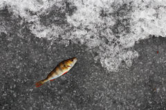 Winter fishing - perch fish on ice. Stock Photos
