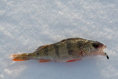 Winter fishing a perch. Lies on snow Royalty Free Stock Photo