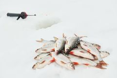 Winter fishing. Roach fish catch on snow royalty free stock photography