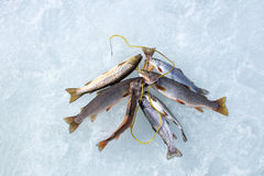 Winter fishing: trout caught on the different types of Stringer. Fish Holder  in the snow Stock Photo
