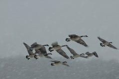 Winter Flock Stock Photos