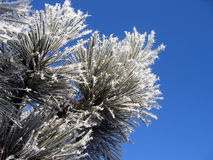 Winter flower. Pine tree covered in frost against a clear blue winter sky Stock Photo