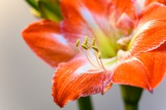 Free Winter Flower Big Red And White Hippeastrum Amaryllis Close Up Royalty Free Stock Images - 162665549