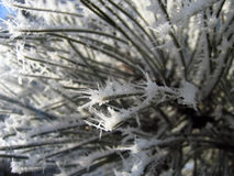 Winter flower close-up 2. Close up on a pine tree branch covered in frost icycles in a cold winter morning day Stock Image