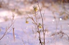 Winter flower Siberian Stock Photos