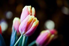 Winter flower tulip frozen snow. Winter season flower tulip frozen snow day light Royalty Free Stock Photography