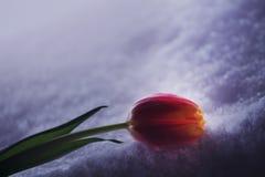 Winter flower tulip frozen snow. Winter season flower tulip frozen snow day light Royalty Free Stock Photos