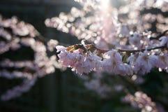 Winter Flowering Cherry Blossom. Raindrops on backlit cherry blossom stock image