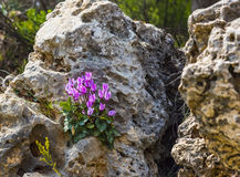 Winter flowers, cyclamates flower in close up under the rock. Lilac Cyclamen grows on stones Royalty Free Stock Photography