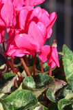 Winter flowers: cyclamen flowers, close-up.  Royalty Free Stock Images