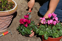 Winter flowers planting Stock Images