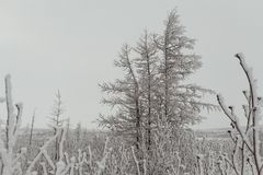 Winter fluffy snow-covered trees, Norilsk stock images