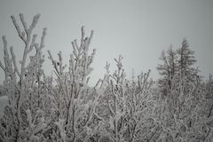 Winter fluffy snow-covered trees, Norilsk stock photos
