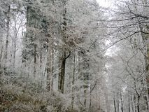 Winter fog in a forest with tall trees in Germany. Dew frosted on the wood during a cold weekend. stock images