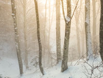 Winter foggy beech forest scene. Royalty Free Stock Image