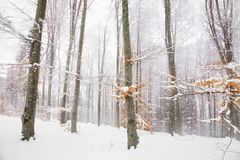 Winter foggy beech forest landscape Royalty Free Stock Photography