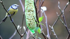 Winter food peanuts for birds, blue tit stock video footage