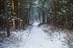Winter footpath in the forest Royalty Free Stock Photography