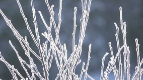 Background with Hoarfrost on Branches in the Sunlight. Winter. In the foreground, branches of the bush covered with hoarfrost close up. Control sunlight. A stock video footage