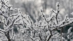 The Bush Covered With Hoarfrost. Winter. In the foreground, branches of the bush covered with hoarfrost close up. Control sunlight. A background without focus stock video footage