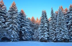 Winter fores in morning Stock Photography