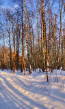 Winter forest. Snowy forest at wonderful winter evening Royalty Free Stock Photography