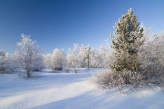 Winter forest. With beautiful spruce and clear sky Royalty Free Stock Images