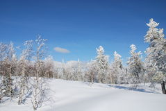 Winter forest. Near Sheregesh mountains Stock Image