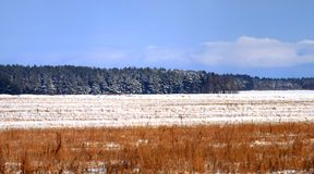 Winter forest. The beautiful winter view with the coniferous forest in the distance photograped in pano mode Royalty Free Stock Image
