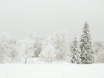 Winter forest. And trees covered with frost in Estonia Stock Photos