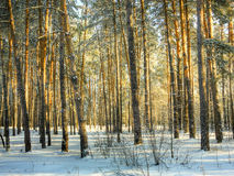 Winter forest, Royalty Free Stock Images