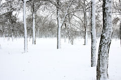 Winter forest. A winter evening landscape of forest Stock Photo
