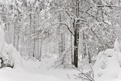 Winter forest. Mysterious and moody winter scene with snow covered trees and snowdrifts in deep forest during snowstorm. (Czech republic Stock Photo