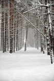 The winter forest Stock Photo