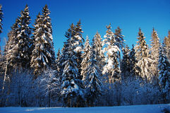 Winter forest. Beautiful forest on a sunny winter day stock photography