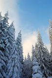 Winter Forest. Snow-covered trees against the blue sky. Winter. The picture was taken in the Ukrainian Carpathians Stock Photo