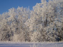 Winter forest. Forest in winter in Estonia Stock Image