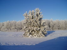 Winter forest. Forest in winter in Estonia Royalty Free Stock Images