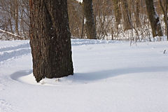 Winter forest. The dark tree trunks and shadows on the snow royalty free stock photo
