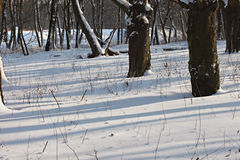 Winter forest. The dark tree trunks and shadows on the snow Stock Photo