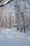 Winter forest. Trees in snow in winter, Russia stock image