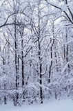 Winter forest. Trees in snow in winter, Russia stock photography