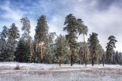Winter forest. Landscape of winter pine forest Stock Photos
