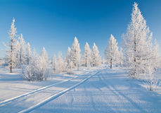 Winter forest. Track in a winter forest Royalty Free Stock Image