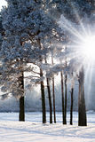 Winter forest. Sunlight through the winter forest Royalty Free Stock Photos