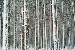 Winter forest. Somewhere in Poland Royalty Free Stock Photography